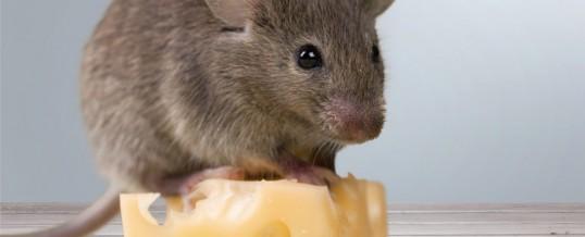 Leptospiroza este o boală gravă transmisă de șoareci și șobolani. Doi bărbați infectați cu leptospiroză, în pericol de moarte la Iași.