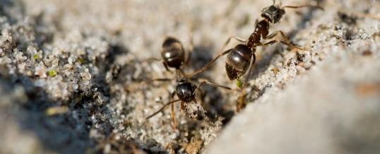 Cum să scapi de furnicile din casa ta